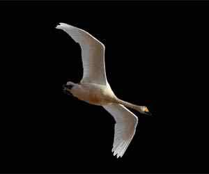 cygnus-swan-2